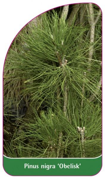 Pinus nigra 'Obelisk', 68 x 120 mm