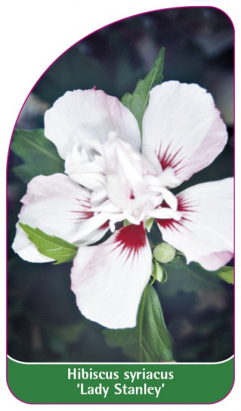Hibiscus syriacus 'Lady Stanley', 68 x 120 mm