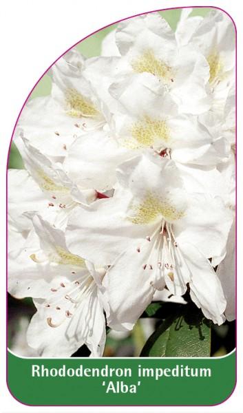 Rhododendron impeditum 'Alba', 68 x 120 mm