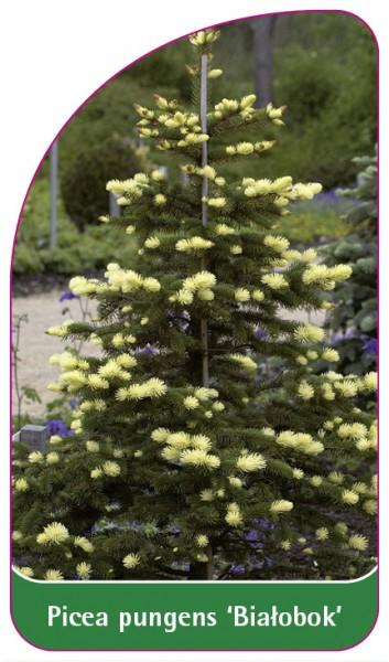 Picea pungens 'Bialobok', 68 x 120 mm