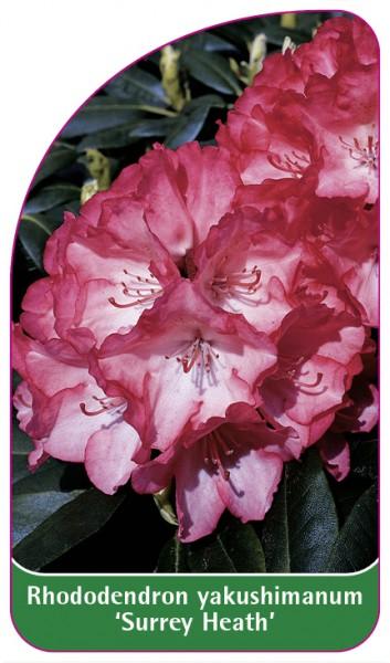 Rhododendron yakushimanum 'Surrey Heath', 68 x 120 mm