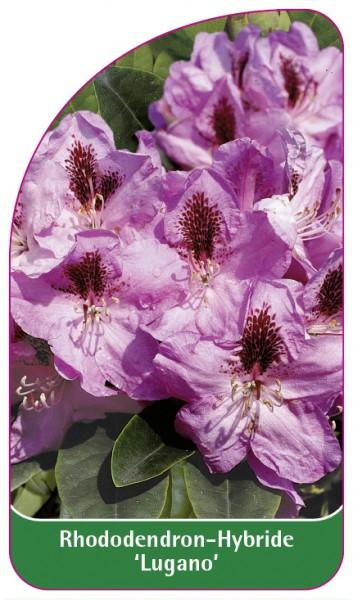 Rhododendron-Hybride 'Lugano', 68 x 120 mm
