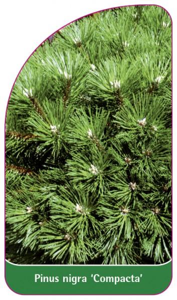 Pinus nigra 'Compacta', 68 x 120 mm