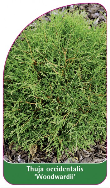 Thuja occidentalis 'Woodwardii', 68 x 120 mm