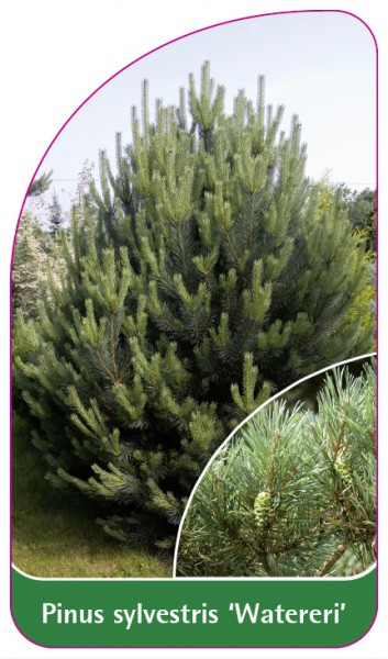 Pinus sylvestris 'Watereri', 68 x 120 mm