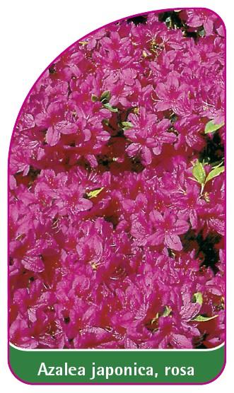 Azalea japonica, rosa, 52 x 90 mm