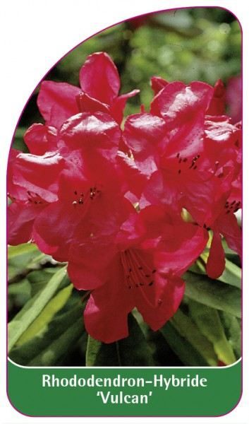 Rhododendron-Hybride 'Vulcan', 68 x 120 mm