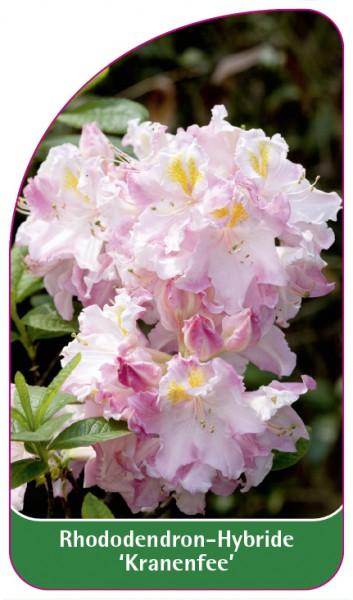 Rhododendron-Hybride 'Kranenfee', 68 x 120 mm