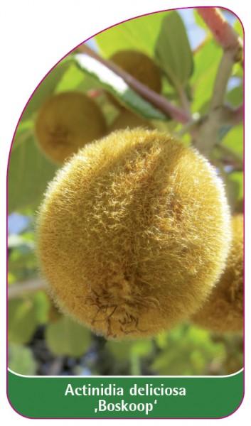 Actinidia deliciosa 'Boskoop', 68 x 120 mm
