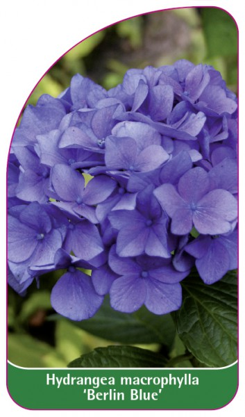 Hydrangea macrophylla 'Berlin Blue', 68 x 120 mm