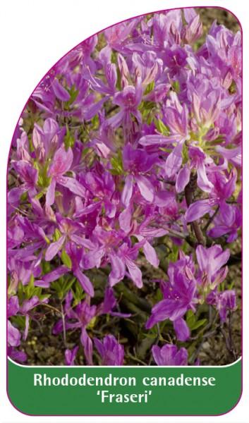 Rhododendron canadense 'Fraseri', 68 x 120 mm