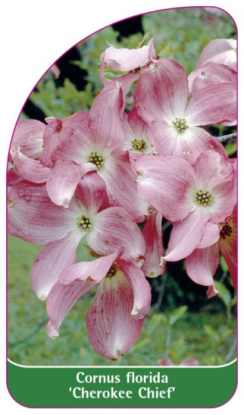 Cornus florida 'Cherokee Chief', 68 x 120 mm