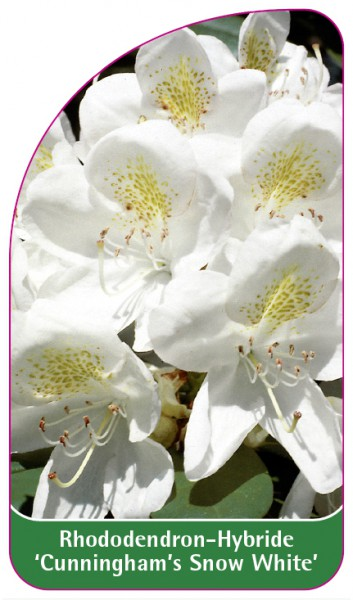 Rhododendron-Hybride 'Cunningham's Snow White', 68 x 120 mm