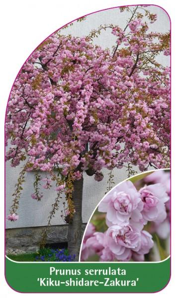 Prunus serrulata 'Kiku-shidare-Zakura,68 x 120 mm