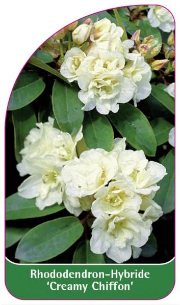 Rhododendron-Hybride 'Creamy Chiffon', 68 x 120 mm