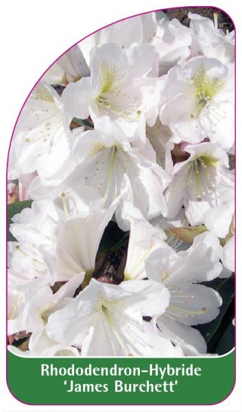 Rhododendron-Hybride 'James Burchett', 68 x 120 mm