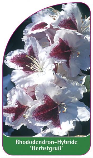 Rhododendron-Hybride 'Herbstgruß', 68 x 120 mm