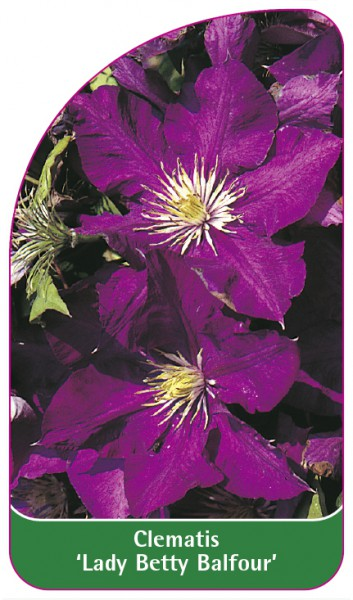 Clematis 'Lady Betty Balfour', 68 x 120 mm