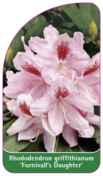 Rhododendron griffithianum 'Furnivall's Daughter', 68 x 120 mm