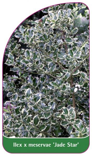 Ilex x meservae 'Jade Star', 68 x 120 mm