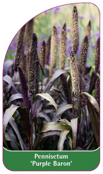 Pennisetum 'Purple Baron', 68 x 120 mm