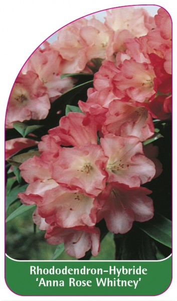 Rhododendron-Hybride 'Anna Rose Whitney', 68 x 120 mm