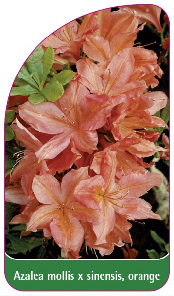 Azalea mollis x sinensis, orange, 68 x 120 mm