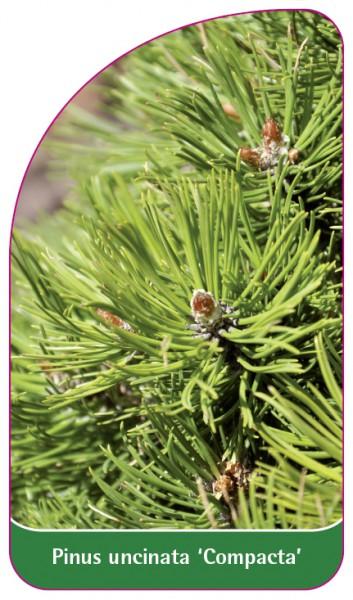 Pinus uncinata 'Compacta', 68 x 120 mm