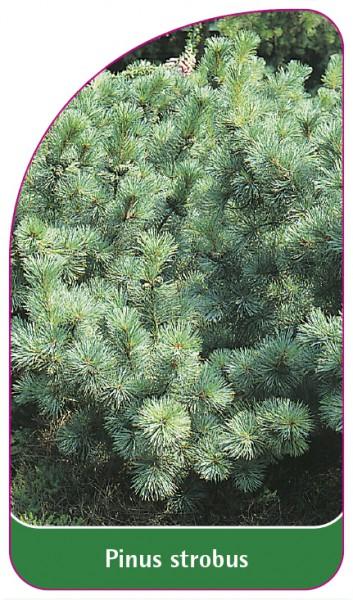 Pinus strobus, 68 x 120 mm