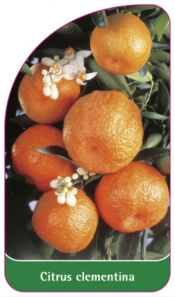 Citrus clementina, 68 x 120 mm
