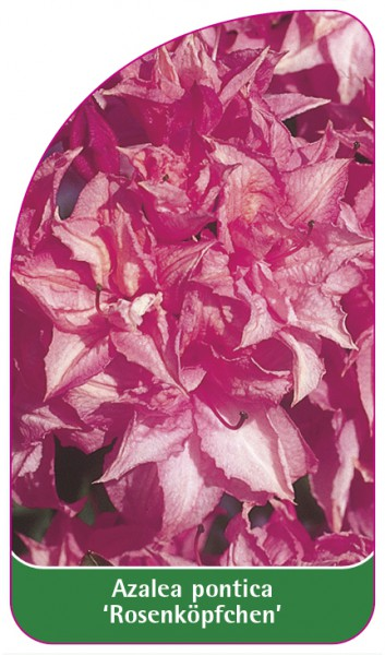 Azalea pontica 'Rosenköpfchen', 68 x 120 mm