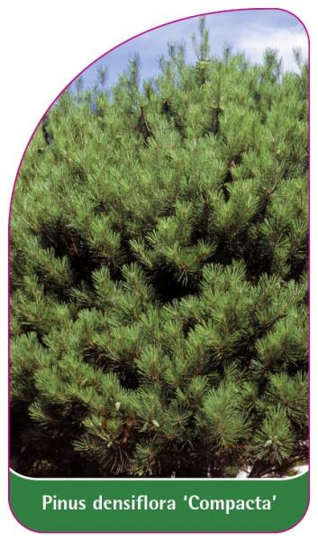 Pinus densiflora 'Compacta', 68 x 120 mm