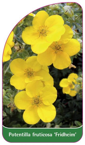 Potentilla fruticosa 'Fridheim', 68 x 120 mm
