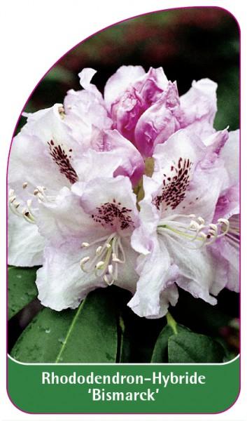 Rhododendron-Hybride 'Bismarck', 68 x 120 mm