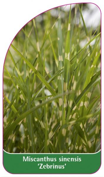 Miscanthus sinensis 'Zebrinus', 68 x 120 mm