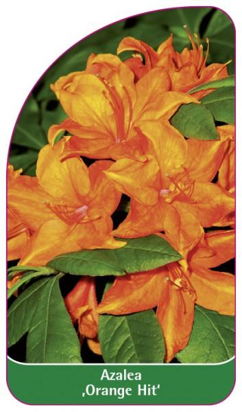 Azalea 'Orange Hit', 68 x 120 mm