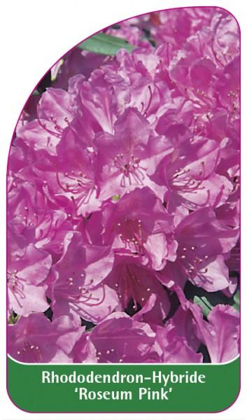 Rhododendron-Hybride 'Roseum Pink', 68 x 120 mm