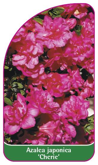 Azalea japonica 'Cherie', 52 x 90 mm