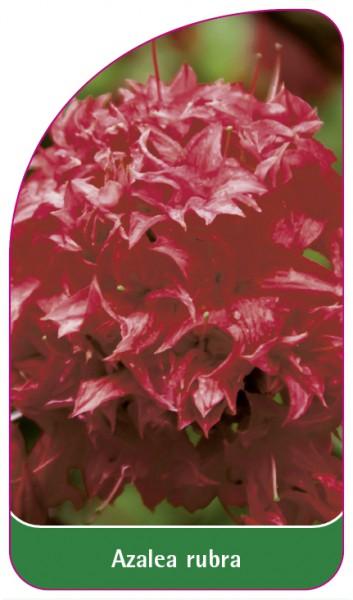Azalea rubra, 68 x 120 mm