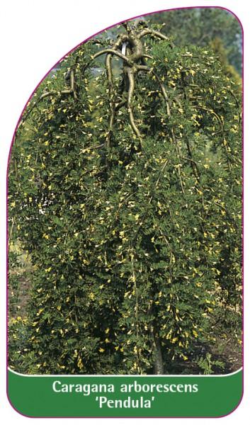 Caragana arborescens 'Pendula', 68 x 120 mm