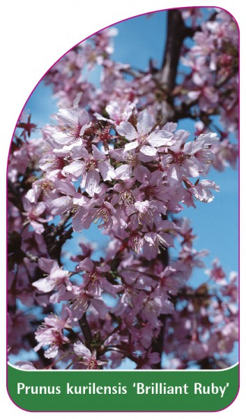 Prunus kurilensis 'Brilliant Ruby', 68 x 120 mm