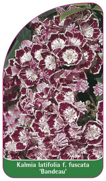 Kalmia latifolia f. fuscata 'Bandeau', 68 x 120 mm