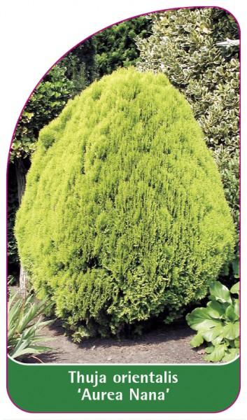 Thuja orientalis 'Aurea Nana', 68 x 120 mm