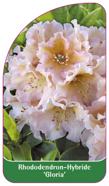 Rhododendron-Hybride 'Gloria', 68 x 120 mm