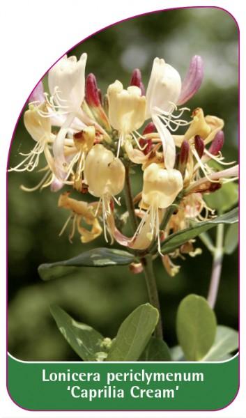 Lonicera periclymenum 'Caprilia Cream', 68 x 120 mm