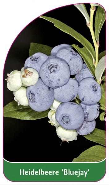 Heidelbeere 'Bluejay', 68 x 120 mm