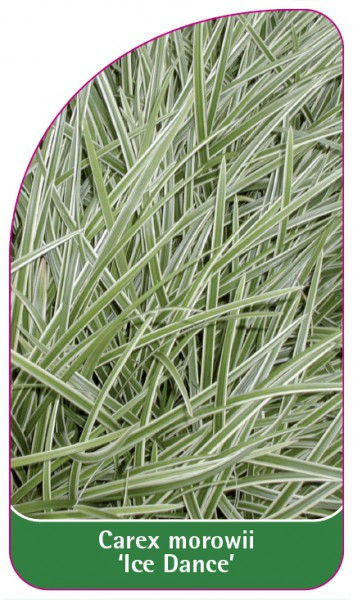 Carex morowii 'Ice Dance', 68 x 120 mm