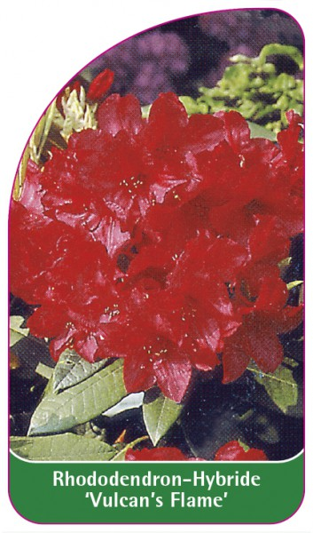 Rhododendron-Hybride 'Vulcan's Flame', 68 x 120 mm