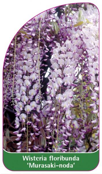 Wisteria floribunda 'Murasaki-noda', 68 x 120 mm