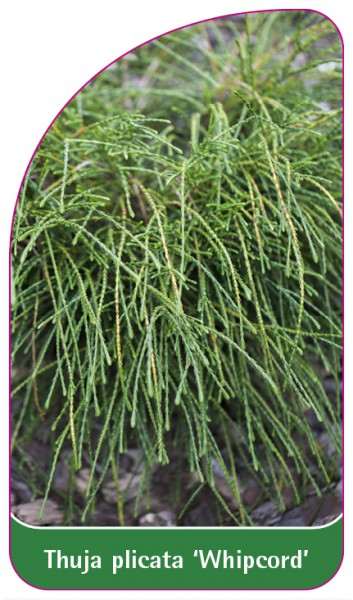 Thuja 'Whipcord', 68 x 120 mm